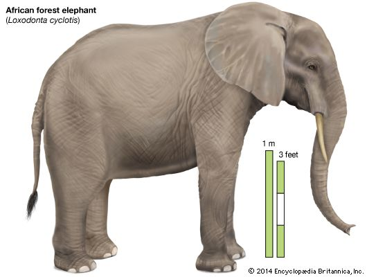 530x400 African Elephant Side View