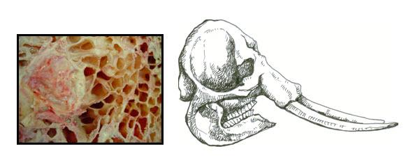 581x230 Erec About Elephant Anatomy And Biology