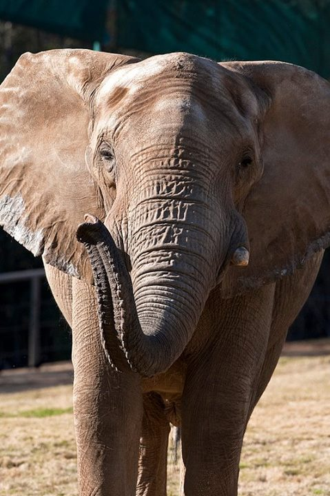 479x720 Msholo Is Part Of The Safari Park#39s African Elephant Herd