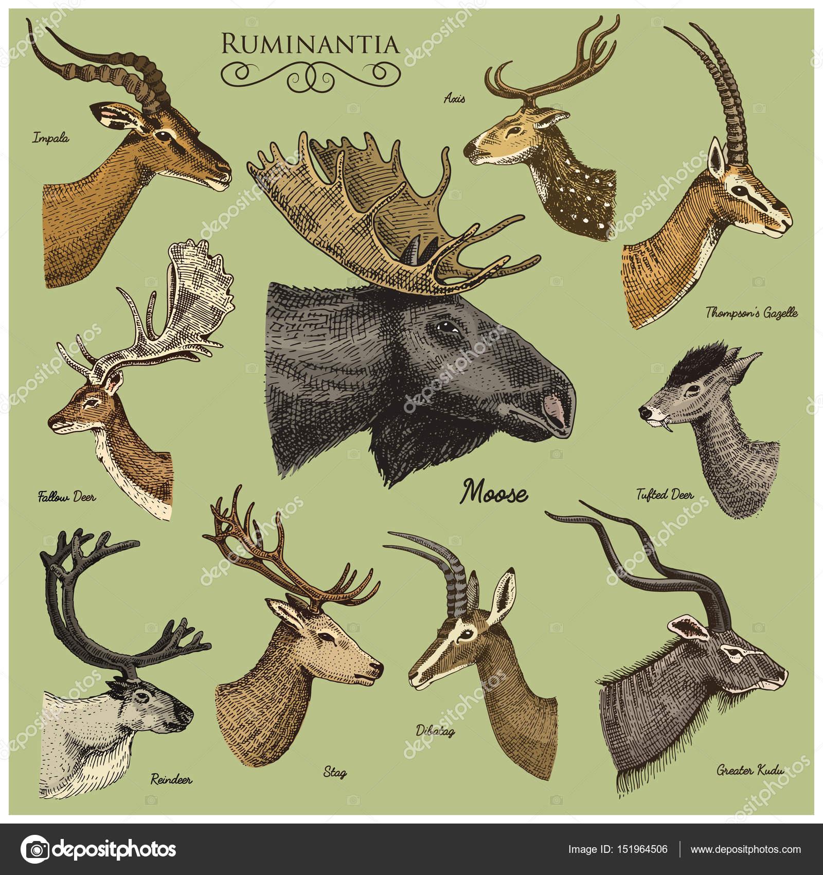 1600x1700 Big set of Horn, antlers Animals moose or elk with impala, gazelle