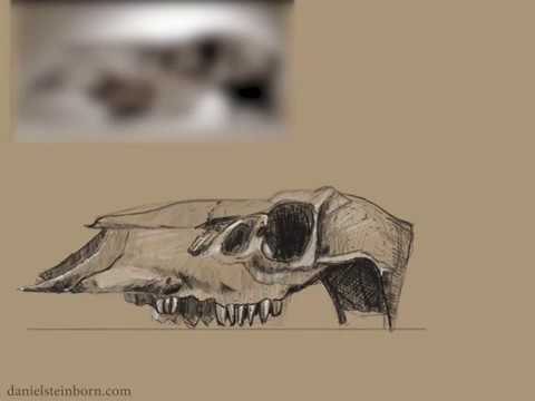 480x360 Drawing Study Elk Skull [Time Lapse][Procreate]