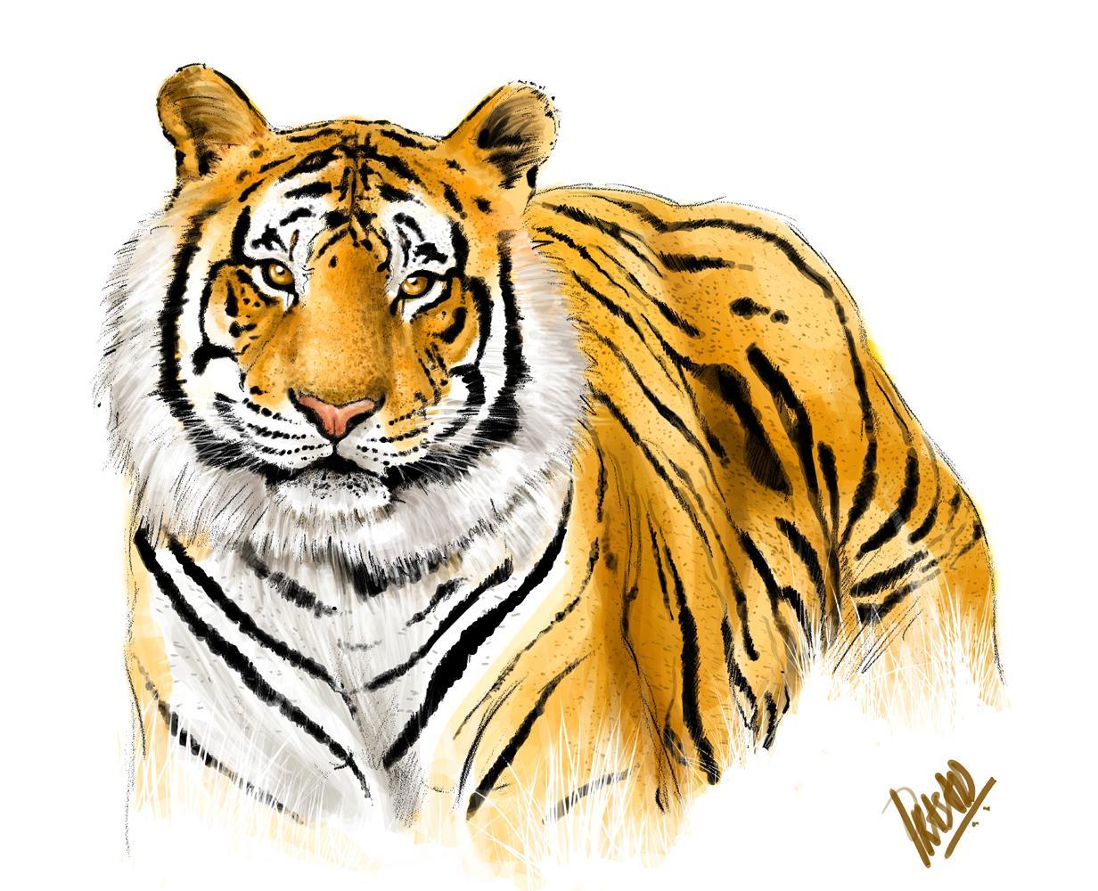 1232x1000 Tiger Images The Royal Bengal Tiger