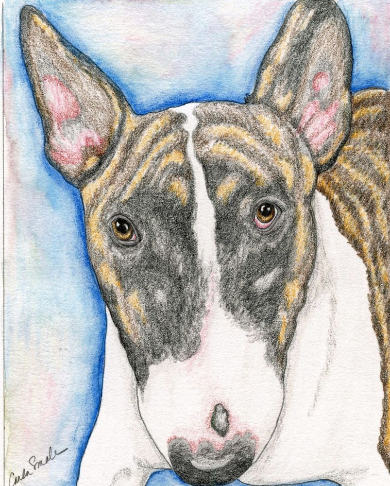 803x1000 English Bull Terrier Dog Art Original 5 X 6 Pencil Painting
