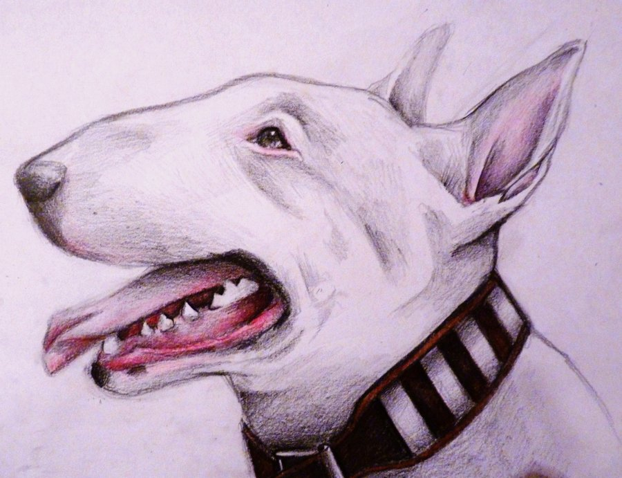900x691 English Bull Terrier By Midulcelocura