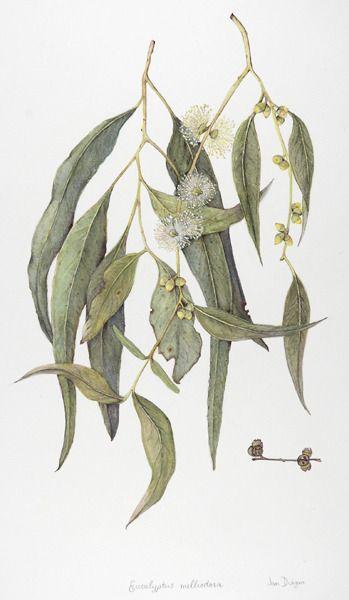 349x600 Botanical Drawing, Botanical Illustration, And Eucalyptus