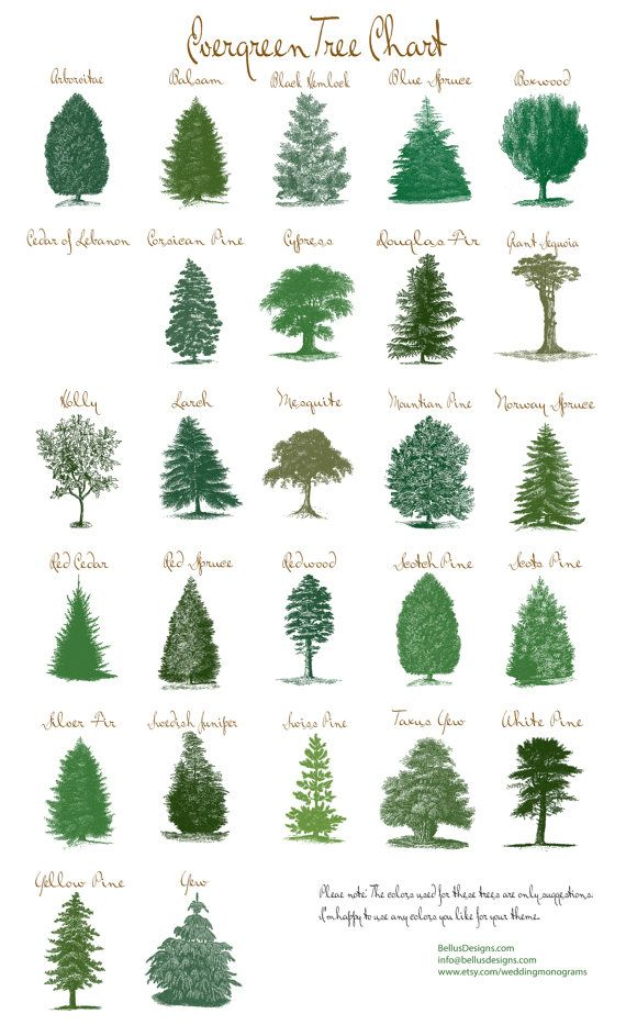 570x933 Gallery List Of Evergreen Trees With Pictures,