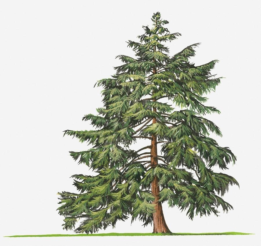900x850 Hemlock Tree Drawing Simple Living Tree In The World Places