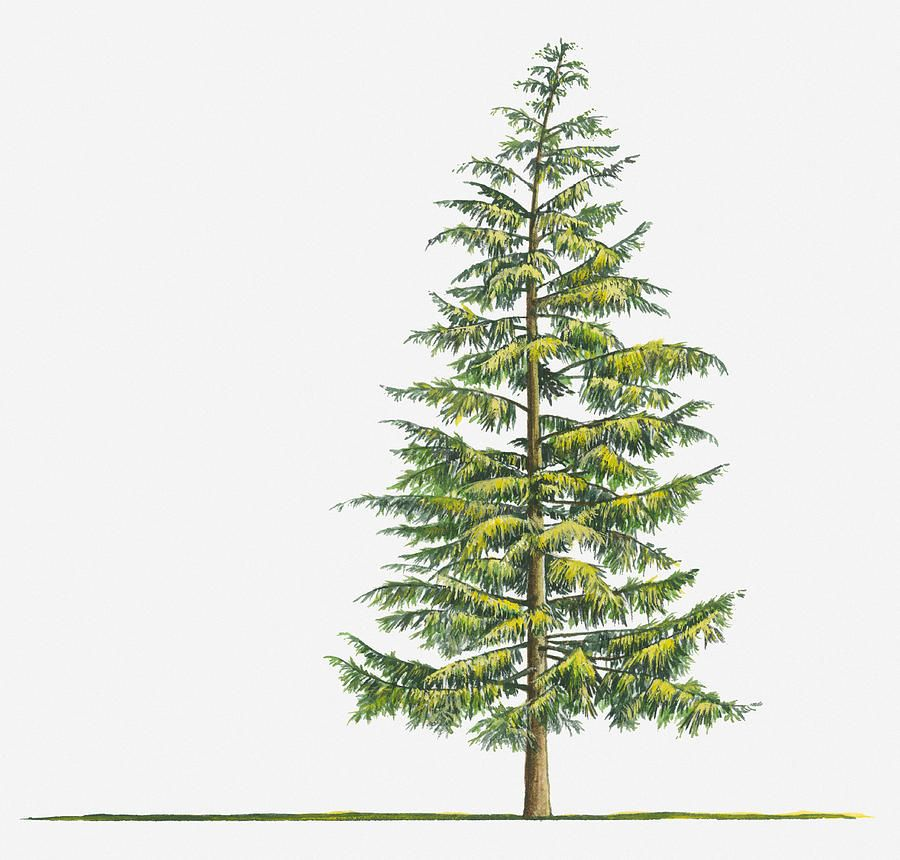 900x860 Illustration Of Large Evergreen Tsuga Heterophylla (Western