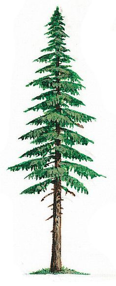 236x580 Evergreen Trees Drawing