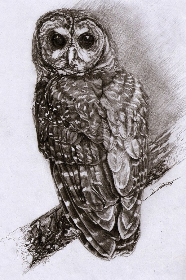 600x904 Northern Spotted Owl By Ambr0