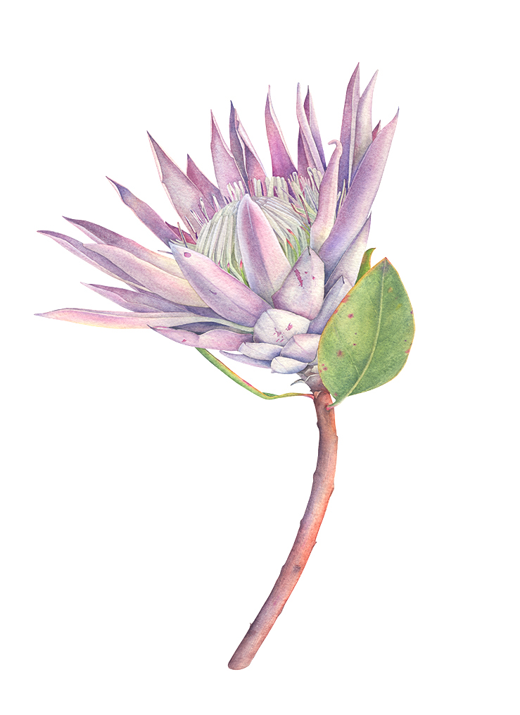 739x1015 King Protea Flower With Watercolor. Botanical