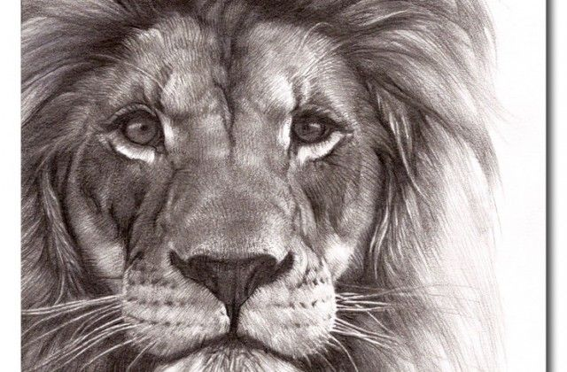640x420 Lion Face Drawing Graphite Drawing Animal Lion Drawing Snow