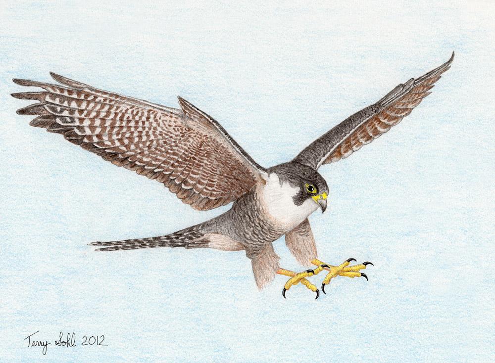 1000x734 Falcon