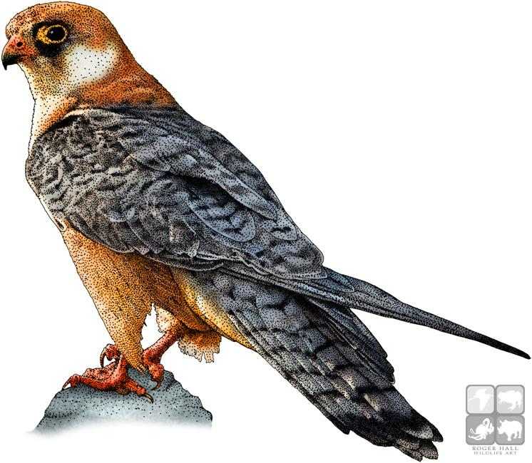 746x650 Full Color Illustraion Of A Red Footed Falcon Buteo Lineatus