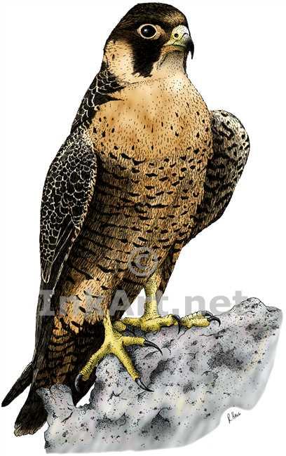 408x650 Peregrine Falcon (Falco Peregrinus) Stock Art Illustration