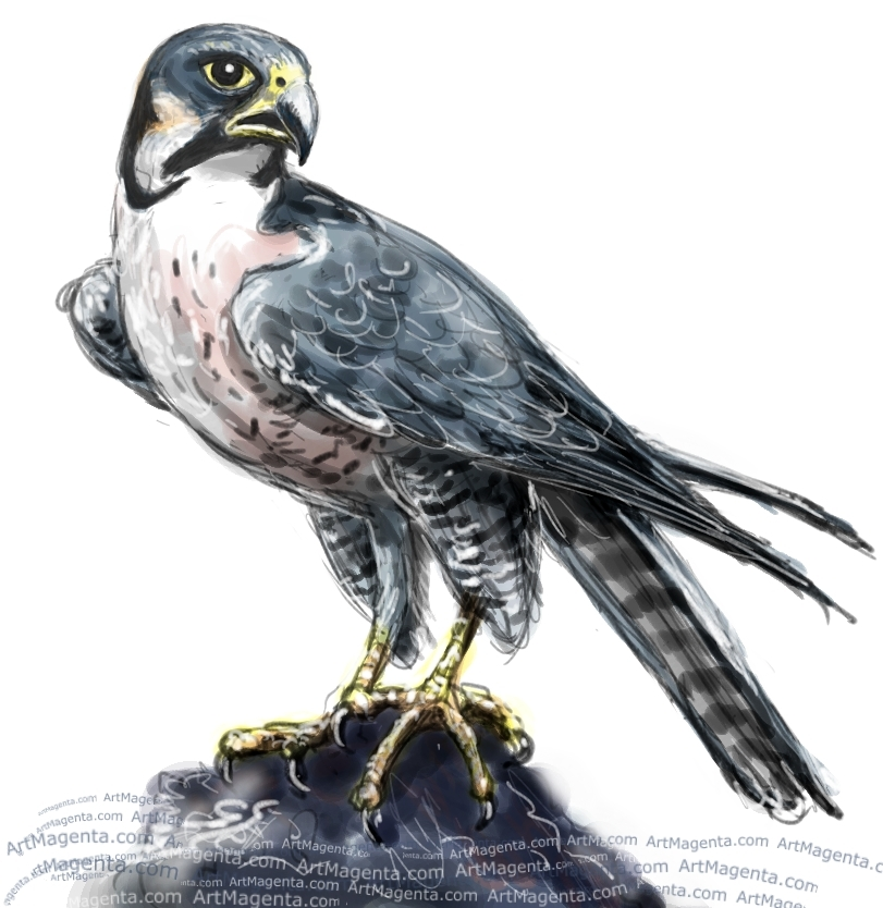 811x834 Peregrine Falcon Falcons Art
