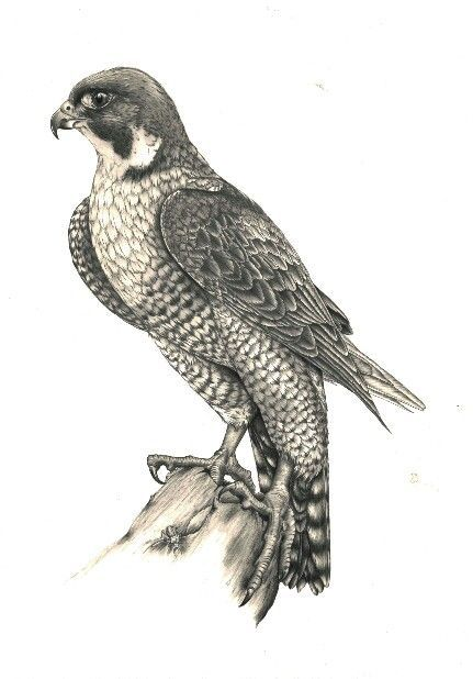 431x618 Peregrine Pencil Drawing By Kerry Jane Grandmothers