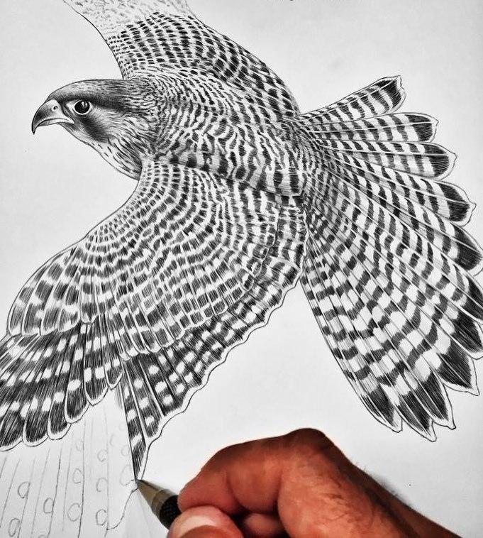 681x758 Tim Jeffs Art Peregrine Falcon Wip 2 I'M Loving This Bird, All