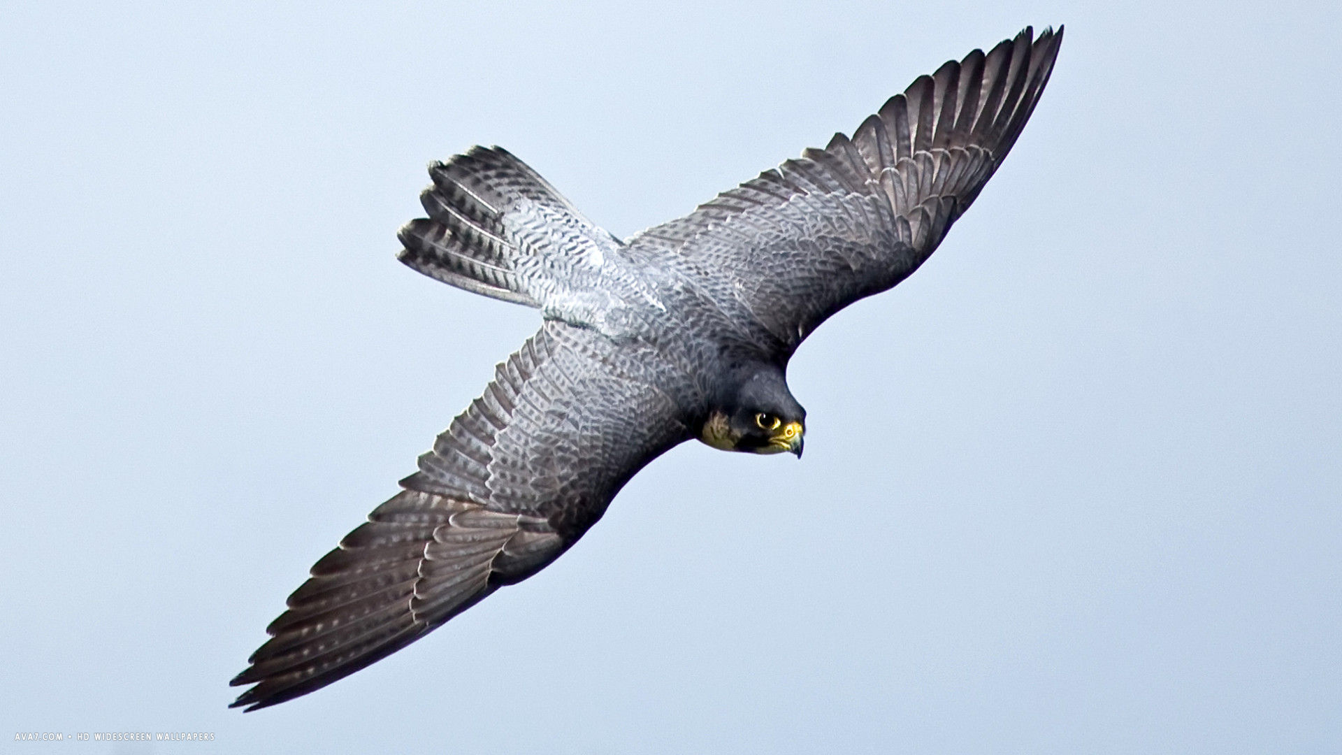Falcon Bird Drawing at GetDrawings | Free download