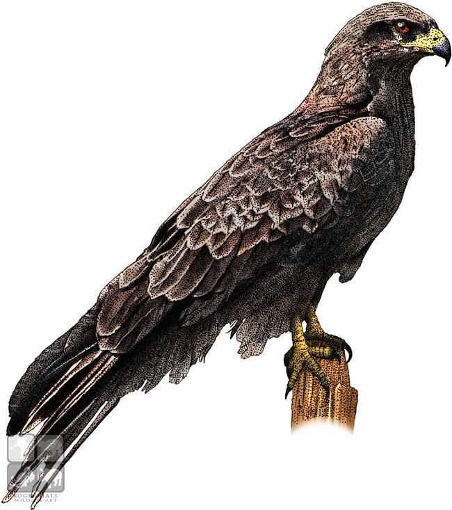 650x733 Black Falcon Stock Art Illustration