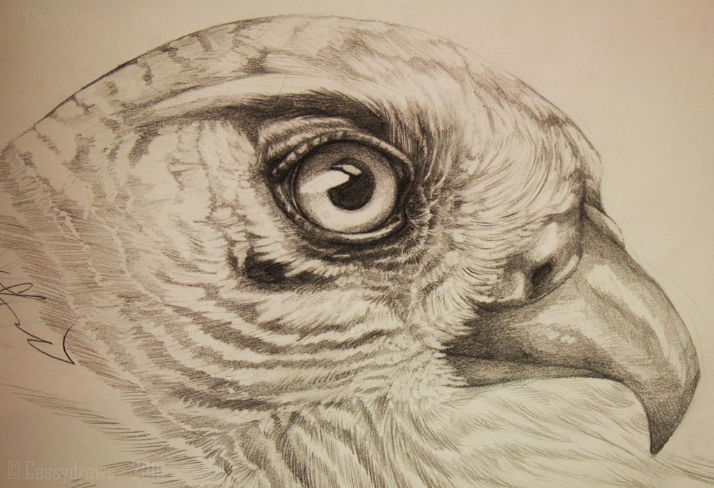 1024x700 Falcon Drawing. By Cassydraws