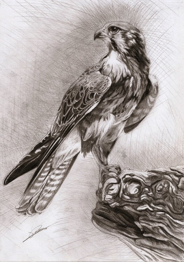 600x852 Falcon By ~ambr0 On Drawings Falcons