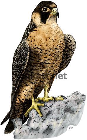 295x470 Full Color Stock Art Drawing Of A Peregrine Falcon (Falco