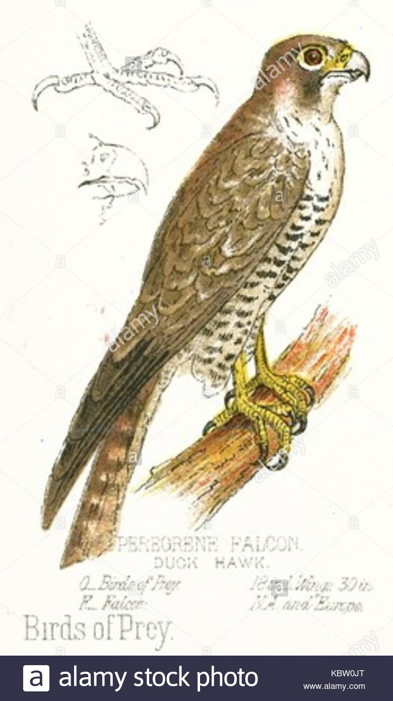 780x1390 Peregrine Falcon Drawing Stock Photo 162203856