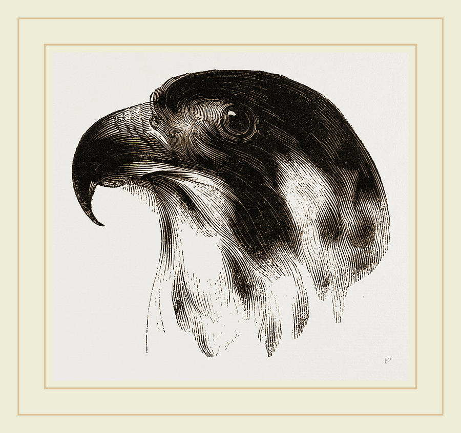 900x846 Head Of Peregrine Falcon Drawing By Litz Collection