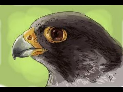 480x360 How To Draw A Falcon Head