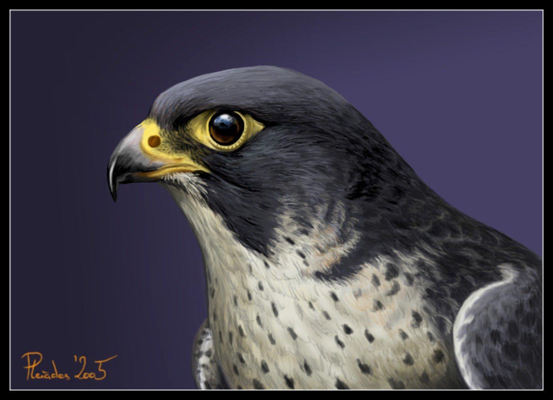1450x1050 Peregrine Falcon By Emberiza