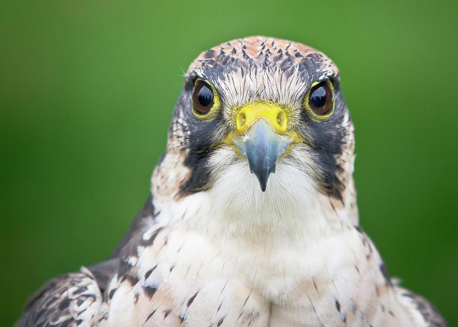 900x643 Portrait Of Peregrine Falcon Photograph By Michal Baran