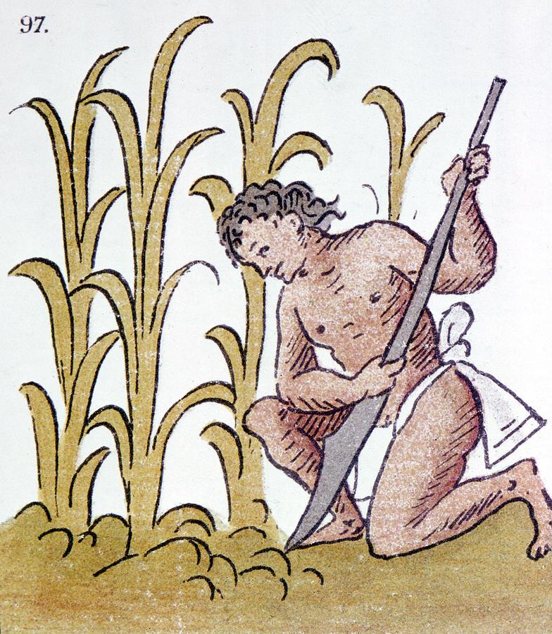 784x900 Aztec Farming Drawing By Granger