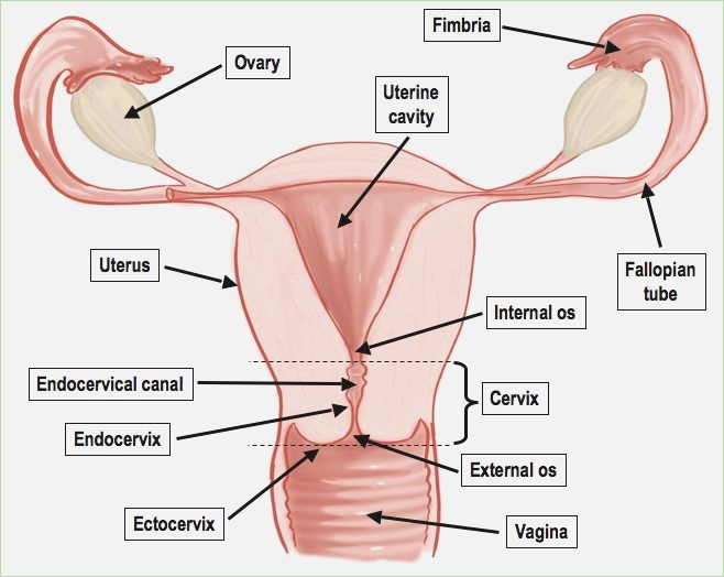 Female reproductive system drawing at getdrawings free for 658x524 diagram of female anatomy nanopromfo ccuart Choice Image