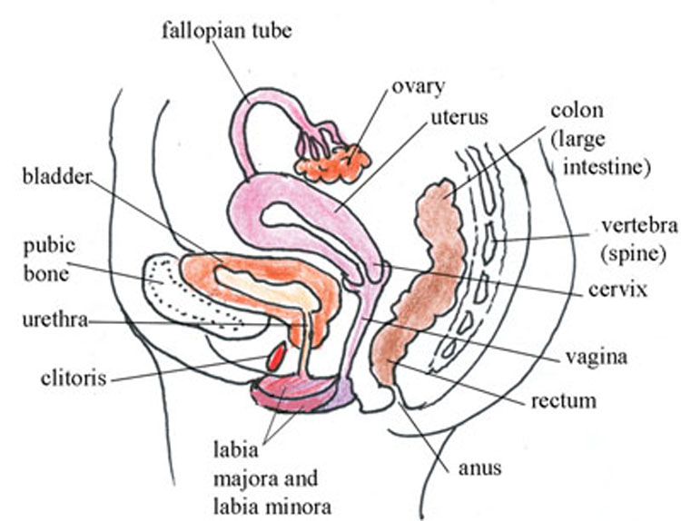 Female Reproductive System Drawing at GetDrawings.com | Free for ...