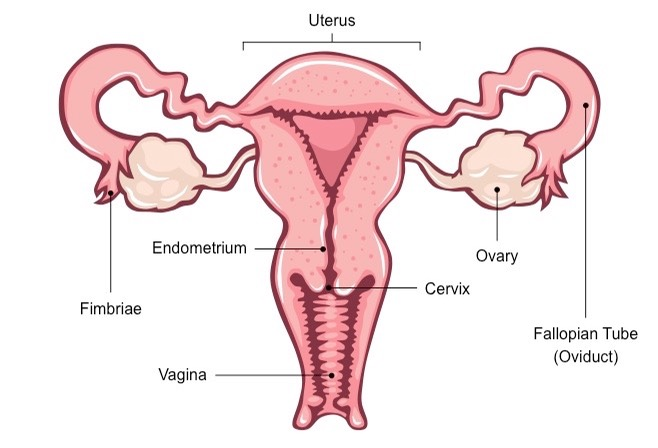 Female Reproductive System Drawing At Getdrawings Com