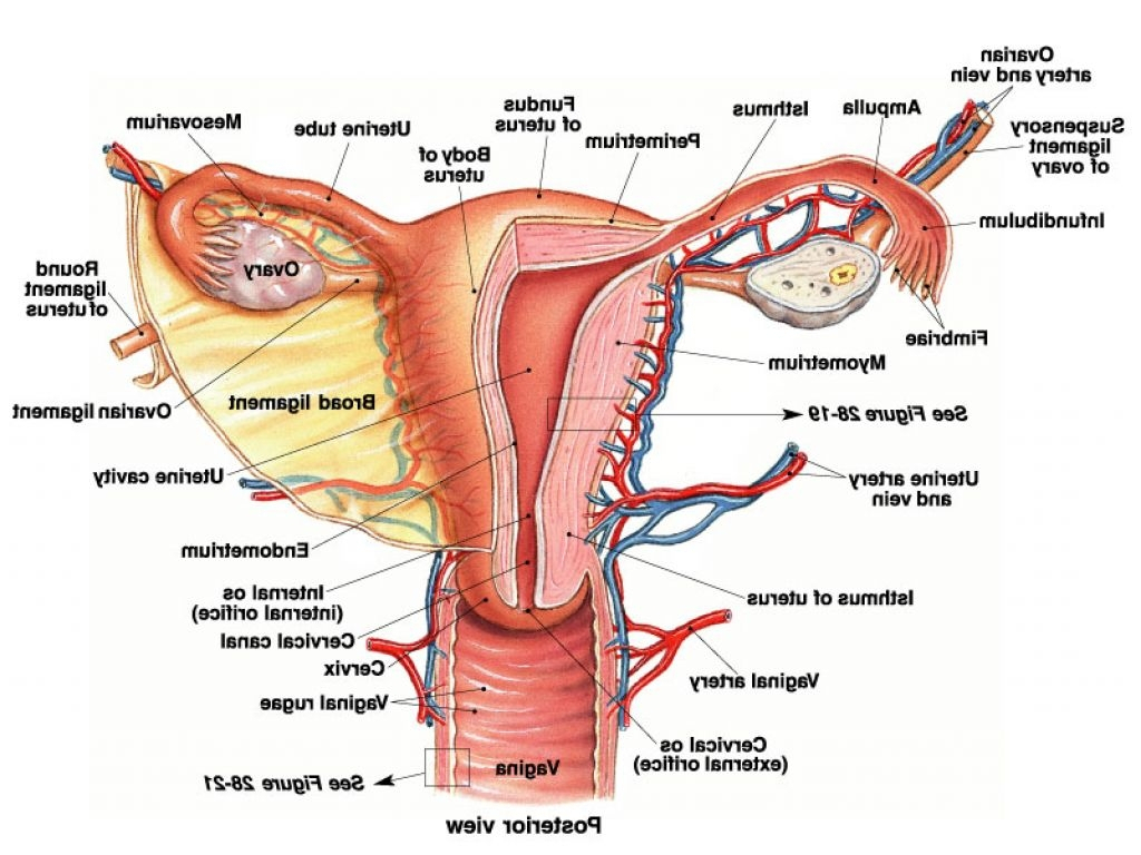 Female Reproductive System Drawing At Getdrawings Free For