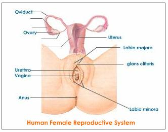 Female reproductive system drawing at getdrawings free for 332x260 female reproductive system explained with diagrams reproductive ccuart Image collections