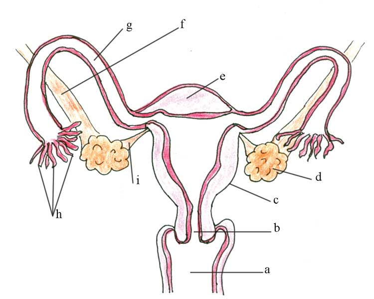 Female reproductive system drawing at getdrawings free for 332x260 female reproductive system explained with diagrams reproductive 3 2 750x600 olcreate heat anc et 10 antenatal care module 3 anatomy and ccuart Image collections