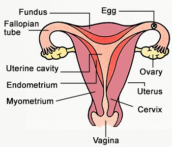 Female reproductive system drawing at getdrawings free for 350x300 labeled female reproductive system diagramg the oncofertility ccuart Image collections