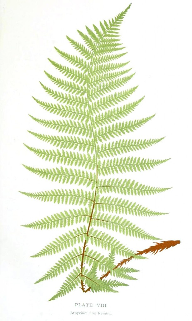 Fern Botanical Drawing at GetDrawings.com | Free for personal use ...