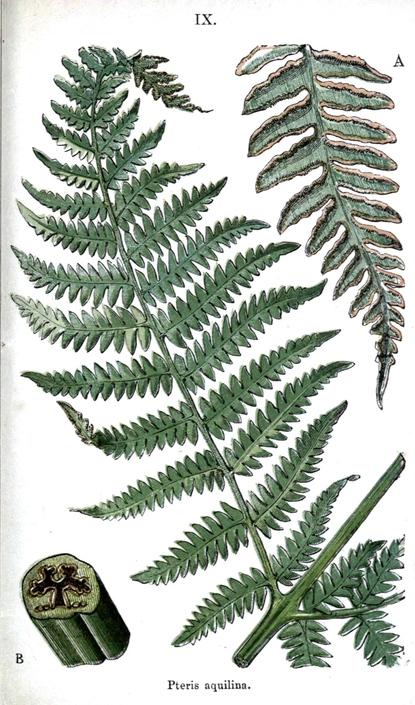 1426x2420 Botanical Drawings Fern Botanical Ferns.