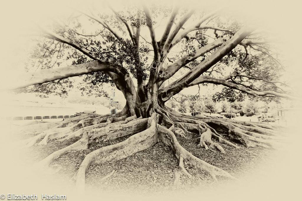 1024x680 Fig Tree In Santa Barbara, California. This Moreton Bay