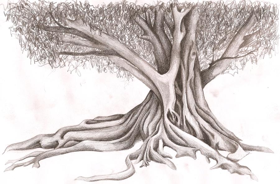900x593 Moreton Bay Fig By Omorocco