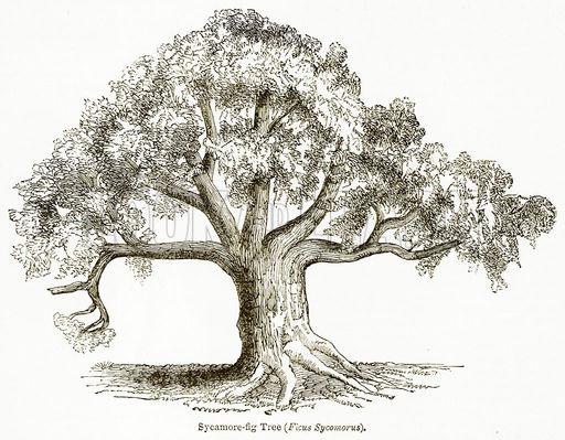 512x399 Sycamore Fig Tree (Ficus Sycomorus)