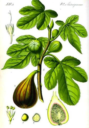 346x500 Fig Tree Drawing