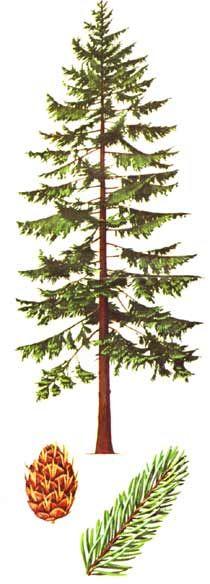 210x584 Douglas Fir Tree Drawing