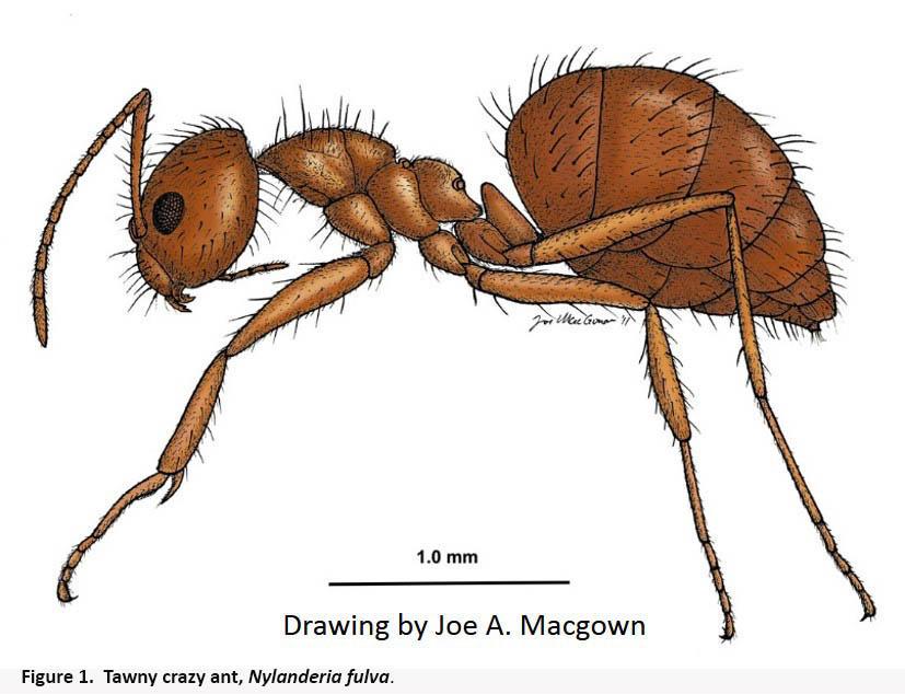 827x634 Tawny (Rasberry) Crazy Ants