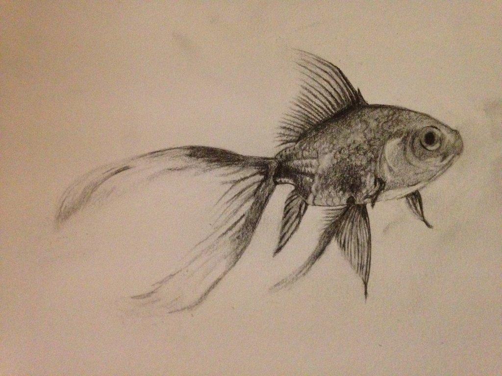 1024x768 Fantail Goldfish Study By Mattehkun