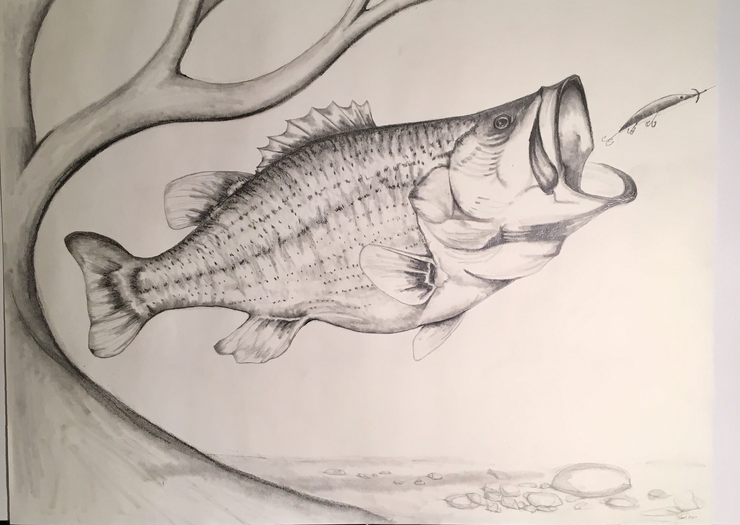 3021x2144 Largemouth Bass Spots A Potential Meal. Pencil Sketch. Drawing